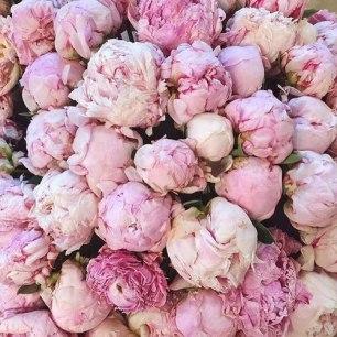 Peonies pink02
