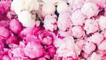 Pink peonies in Spring.