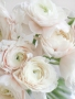 Boglárka Ranunculus