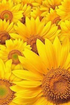 Napraforgó Sunflower 2